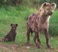 The hyena is one of the most common large carnivores in sub-Saharan Africa