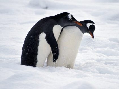 Penguins play before mating at Chile's military base Presidente Eduardo Frei, in the King George island, in Antarctica, on March 13, 2014. AFP PHOTO / VANDERLEI ALMEIDA (Photo credit should read VANDERLEI ALMEIDA/AFP/Getty Images)