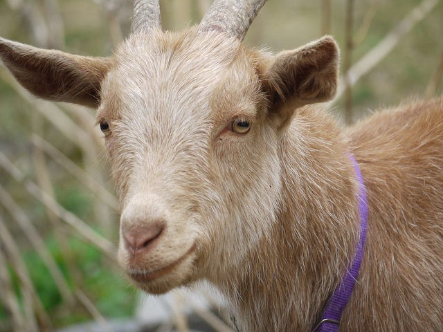 Goat (Rebecca Siegel / Flickr / CC)