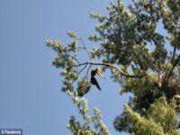 bald eagle 2 35E55C8D00000578-3671801-image-a-6_1467498451537