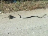 Watch: Mama Rat Saves Baby from Snake