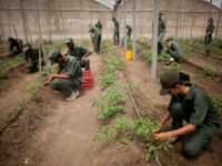 In this March 8, 2016 photo, Bolivarian Army soldiers tend to tomato plants at a military base near Maracay, Venezuela. Venezuela's President Nicolas Maduro on Monday night said he was creating a new government initiative to boost production and guarantee the smooth distribution of food supplies in the face of …