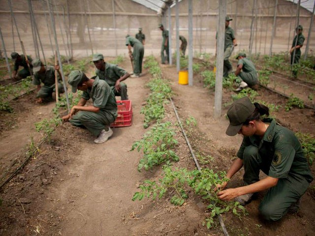 In this March 8, 2016 photo, Bolivarian Army soldiers tend to tomato plants at a military base near Maracay, Venezuela. Venezuela's President Nicolas Maduro on Monday night said he was creating a new government initiative to boost production and guarantee the smooth distribution of food supplies in the face of what he called economic sabotage by his opponents. He said the Great Mission of Sovereign Supply will be headed by Defense Minister Vladimir Padrino, who will coordinate the work of every ministry. Among its goals will be to wean oil-dependent Venezuela off foreign food imports and jumpstart agricultural production that has suffered for years under price controls. (AP Photo/Ariana Cubillos)