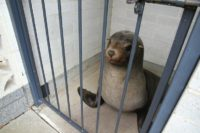 """This undated handout photo released by the Devonport City Council shows """"Sammy"""", a 120-kilogramme (264-pound) fur seal in a cage after he had been found napping in the toilets at a local cemetery in Devonport, Tasmania"""