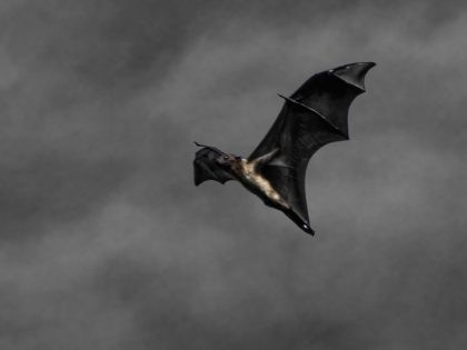 Bat in flight (Raghunath Thirumalaisamy / Flickr / CC / Cropped)