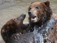 Bears (Jean-Francois Monier / AFP / Getty)