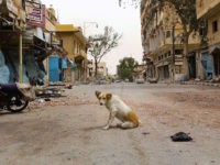 A dogs sits amidst debris in the modern town of Palmyra, adjacent to the ancient Syrian city, on April 9, 2016.   Syrian troops backed by Russian forces recaptured Palmyra on March 27, 2016, after a fierce offensive to rescue the city from jihadists who view the UNESCO-listed site's magnificent ruins as idolatrous. / AFP / LOUAI BESHARA        (Photo credit should read LOUAI BESHARA/AFP/Getty Images)