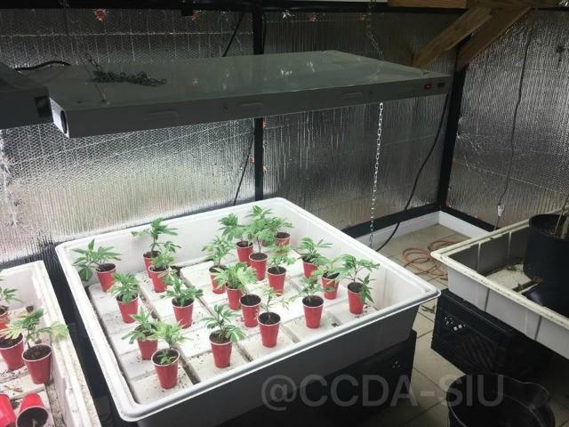Marijuana growth 3