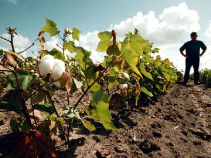N 334726 001 July 25, 1998 Wharton County, Texas, Usa Farmer David Stelzel Stands In Between Rows Of One-Foot Tall Cotton Stalks. Stelzel Said He Lost About 50% Of The Normal Harvest To The Drought. (Photo By Paul S. Howell/Getty Images)