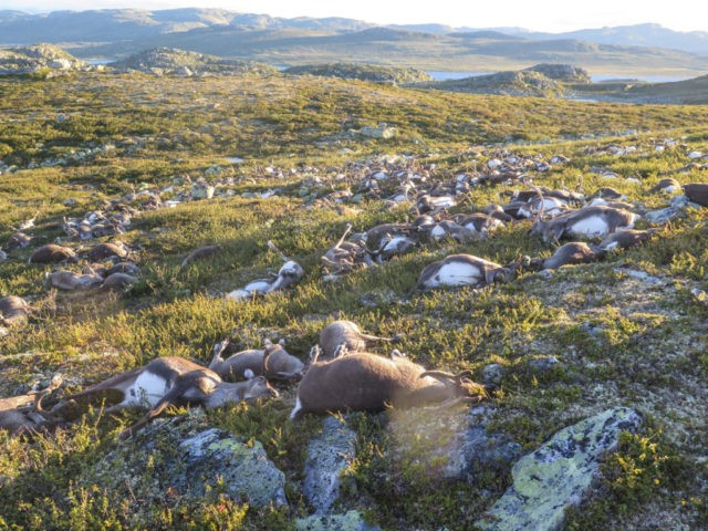 Over 300 Reindeer Killed in Eerie Freak Accident in Norway
