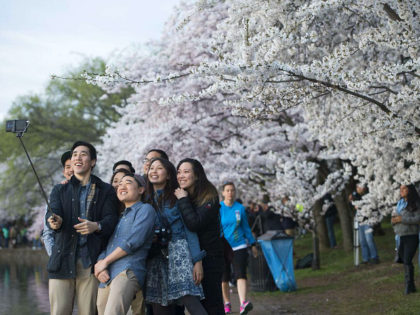 People use a 'selfie stick' as they photograph themselves in front of cherry trees as they blossom around the Tidal Basin on the National Mall in Washington, DC, April 11, 2015. The cherry blossoms, originally a gift from Japan, reached their peak bloom yesterday. AFP PHOTO / SAUL LOEB (Photo …