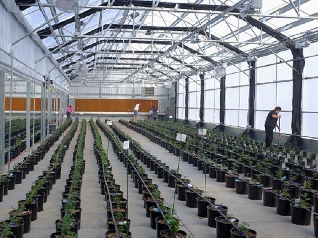 Workers clean up and check plant tags after transplanting marijuana plants to grow in a greenhouse at the Los Suenos Farms facility in Avondale, Colorado, U.S., on Thursday, Feb. 25, 2016. About 938 dispensaries, which outnumber Starbucks in Colorado, in 2015 yielded $135 million in state taxes and fees, 44 …