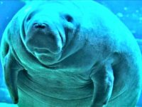 Florida Man Arrested for Allegedly Riding the Back of a Manatee