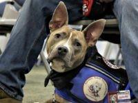 PIT-BULL-ASSISTANCE-DOG AP