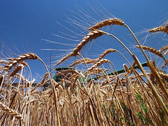 Plano-Texas-Wheat-Farm-Crop-Farmers-AP