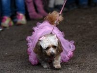 Washington Post: Dog Halloween Costumes 'Sexist' for Perpetuating Gender Norms