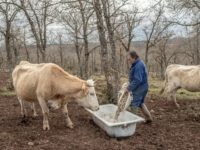 MOLINA DE ARAGON, SPAIN - FEBRUARY 24: Juan Julian Munoz, 49 feeds his cows at his farm near the village of Selas on February 24, 2015 near Molina de Aragon, Spain. Agriculture and ranching are the main economic sources all around the region. The process of de-industrialization and de-population, that …
