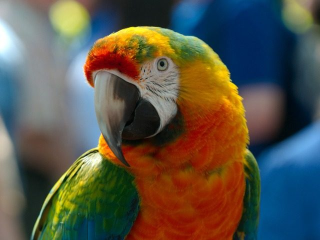 Pet Parrot Exposes Affair Between Domestic Help & Man in Kuwait