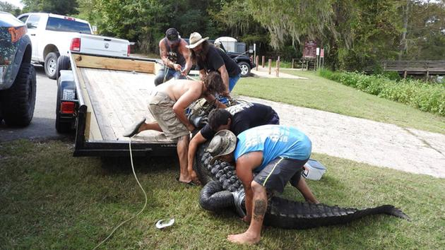 Loading the 900 Pound alligator onto trailer for transport to Gator Country. (Trinity River National Wildlife Refuge)