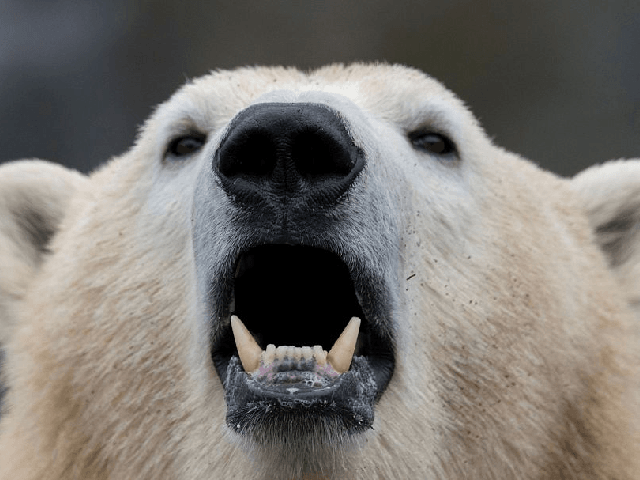 The Truth About Polar Bears Theyre A Dangerous Out Of Control