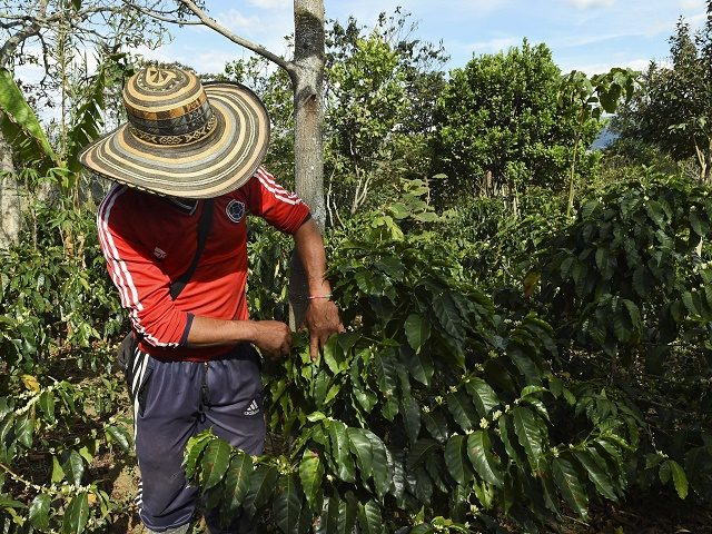A peasant checks coffee beans in La Tola plantation, El Tambo, Narino Department on October 21, 2015.The severe drought in Colombia caused by the El Nino climate phenomenon, concerns the farmers of Narino, the mountainous southwestern department considered home to one of the best coffees in the world. AFP PHOTO/Luis …
