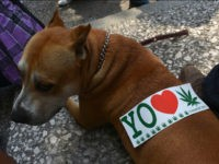 A sticker is seen on a dog's back during a demo in support of the legalization of marijuana , in Mexico City, on May 5, 2012, as part of the 2012 Global Marijuana March which is being held in hundreds of cities worldwide. AFP PHOTO/ Yuri CORTEZ (Photo credit should read YURI CORTEZ/AFP/GettyImages)