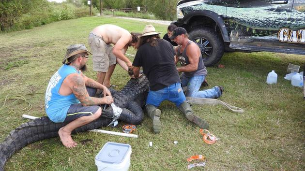 Gary Saurage and his crew get the record 900-pound alligator ready for transport. (Photo: Trinity River National Wildlife Refuge)
