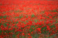 Poppies Grow In Fields Ahead Of Armed Forces Day