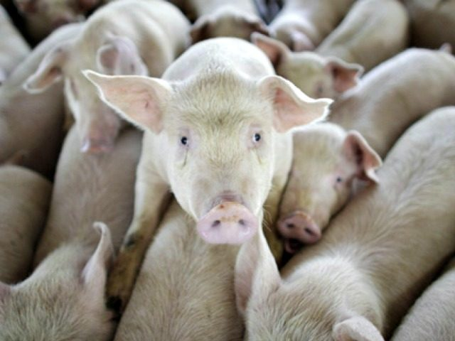 Pigs are seen on a farm run by Granjas Carroll de Mexico on the outskirts of Xicaltepec in Mexico's Veracruz state, Monday, April 27, 2009. Mexico's Agriculture Department said Monday that its inspectors found no sign of swine flu among pigs around the farm in Veracruz, and that no infected …