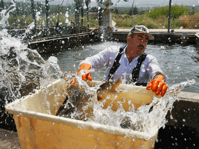 An Arab worker catches a spray of water in his face as he moves a struggling female sturgeon from a fish pond into a container before the fish is taken to a nearby caviar processing plant on April 22, 2009 in Kibbutz Dan, Israel. Far from the Caspian Sea, where …