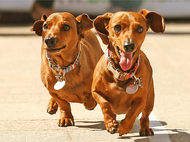Mini dachshunds run as they compete in the Hophaus Southgate Inaugural Dachshund Running of the Wieners Race on September 19, 2015 in Melbourne, Australia. 30 mini dachshunds, 6 standard dachshunds and 18 dachshund puppies all competed for first place and for Best Dressed Dachshund during the annual Oktoberfest celebration. (Photo …