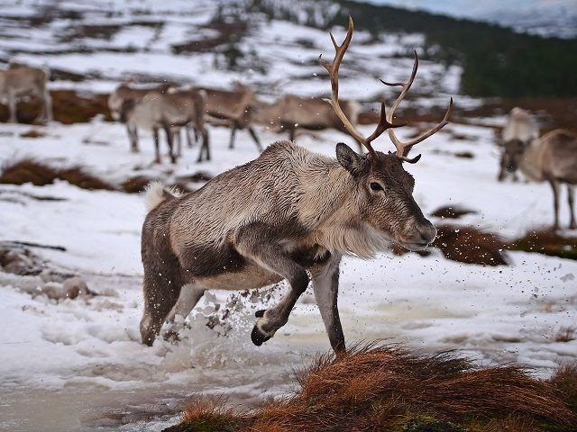 THE CAIRNGORMS NATIONAL PARK, SCOTLAND - DECEMBER 14: Reindeer at the Cairgorm Herd wait to be fed on December 14, 2014 in The Cairngorms National Park, Scotland. Reindeer were introduced to Scotland in 1952 by Swedish Sami reindeer herder, Mikel Utsi. Starting with just a few reindeer, the herd has …