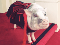 Therapy Pig Greets and Comforts Travelers at SFO