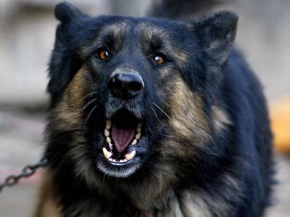 guard-dog-getty