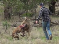 Watch: Man Punches Kangaroo in the Face to Save Dog