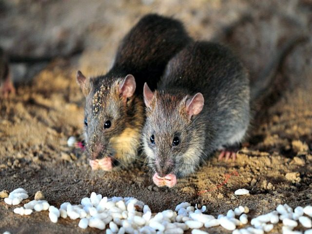 rat GettyImages-482246112