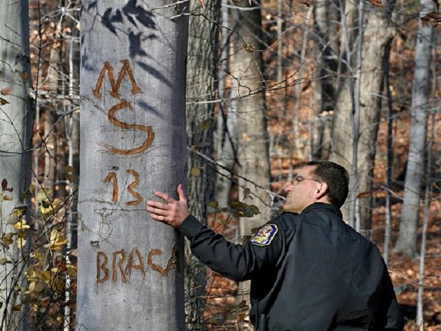 MX-Gangs Photos by Michael Williamson NEG#185862 1/11/07: GANG GRAFFITI HAS BEEN PAINTED AND CARVED ON TREES AND ROCKS IN PUBLIC NATURE AREAS IN SILVER SPRING: Montgomery County Park Police officer Lt. Dave McClintock checks out an MS-13 sign carved into a tree in a nature area in the vicinity of …