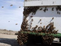 Bees (Marcio Jose Sanchez / Associated Press)