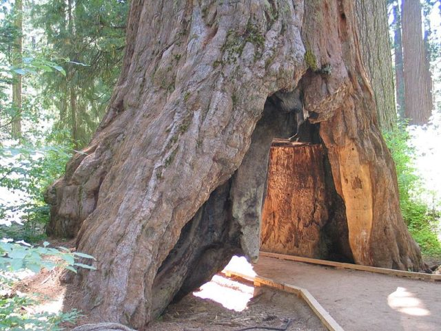 Pioneer Cabin tree Calveras tunnel (NX1Z / Wikimedia Commons)