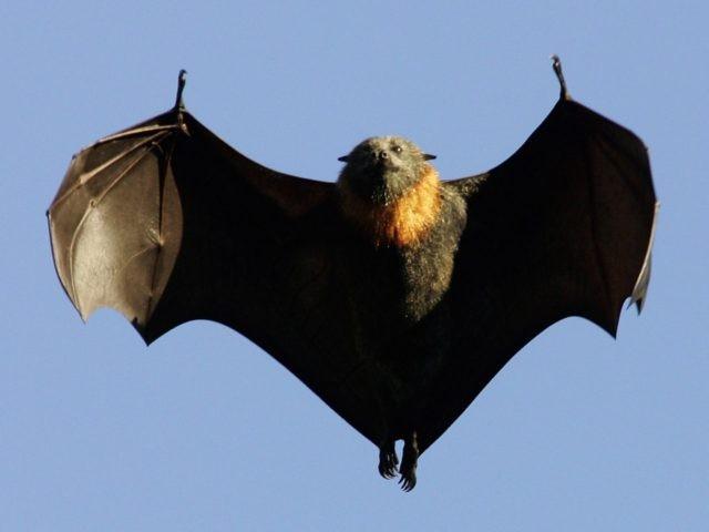Fruit Bat (Ian Waldie / Getty)