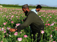 TOPSHOT - Afghan farmers harvest opium sap from a poppy field in Zari District of Kandahar province on April 12, 2016. Opium poppy cultivation in Afghanistan dropped 19 percent in 2015 compared to the previous year, according to figures from the Afghan Ministry of Counter Narcotics and United Nations Office …