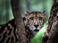 A rare male King Cheetah is seen inside a closed camp in the Ann van Dyk Cheetah Centre on December 30, 2016 in Hartbeespoort, South Africa. Cheetahs are 'sprinting' to extinction due to habitat loss and other forms of human impact, according to a new study out this week which …