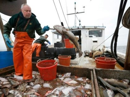 HOLD FOR RELEASE- RELEASE DATE TBD - In this April 23, 2016 photo David Goethel flips a cod while sorting ground fish caught off the coast of New Hampshire. To Goethel, cod represents his identity, his ticket to middle class life, and his link to one the country's most historic …