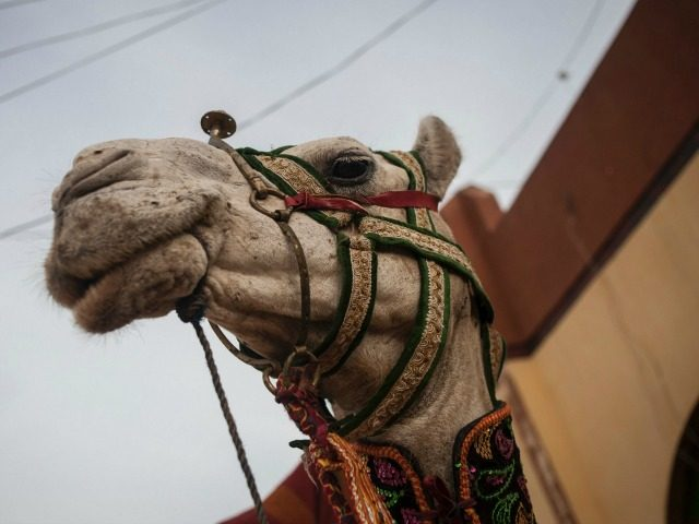 A camel with a decorated halter stands in the Emirs palace grounds before the Durbar Festival in Kano, northern Nigeria on July 6, 2016. Kano is Nigeria's largest Muslim city and celebrates Eid al-Fitr with the Durbar festival, an event that sees a parade of the Emir and his entourage …