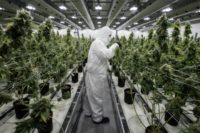 The Dutch parliament has approved a bill to legalise wholesale cultivation of cannabis