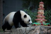 The National Zoo's giant panda Bao Bao will stay in quarantine for about a month, before entering Chengdu's special breeding program