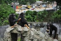 The Wild Chimpanzee Foundation, which works to safeguard chimpanzees in west Africa, says less than 2,000 chimpanzees are left in the Ivory Coast compared to 12,000 in 2002