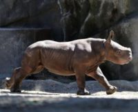 California auctioneer charged with smuggling endangered rhino horns