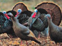 Spring Wild Turkeys AP PhotoThe Gazette, David Lee Hartlage