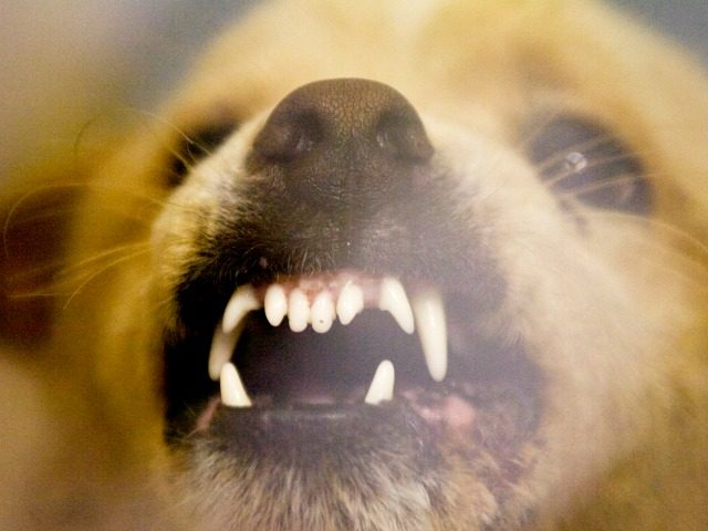 A vicious dog snarls and growls in the Decatur Animal Shelter in Decatur, Ala. October 16, 2008. The dog is a mix that is part Chow and is considered a dangerous animal. (AP Photo/The Decatur Daily, Gary Cosby Jr.)